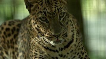 leopardo sdraiato nel recinto e rotolando su un fianco