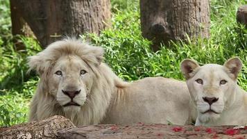 lion white video