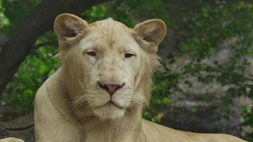 White lion. video