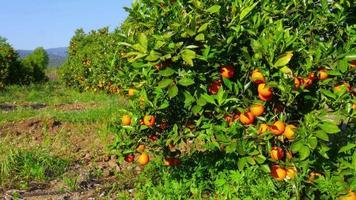 raccoglitore raccogliendo arancia dal ramo di albero