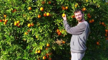 Sammler, der Orange vom Ast des Baumes pflückt