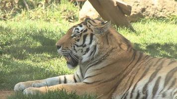 bella tigre rilassante video