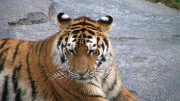 tigre siberiana che sbadiglia