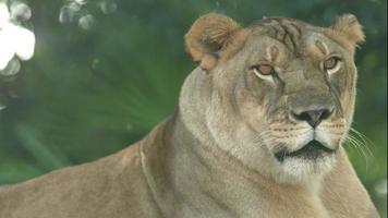 leonessa close up colpo di testa