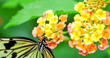 néctar de flor extraído de flor por borboleta rabo de andorinha video