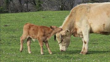 Mother cow plays with her calf.mov