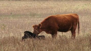vaca jugando con ternero video
