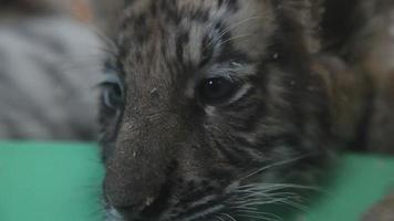 bebê tigre close-up