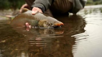 pesce che viene rilasciato di nuovo in un fiume