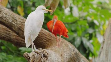 Beautiful birds in the trees - Western Cattle Egret and Scarlet Ibis