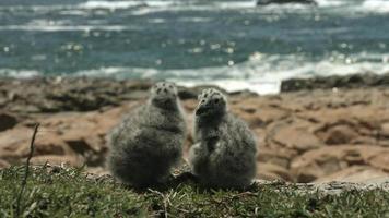 dois filhotes de gaivota olhando o mar.