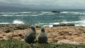 dois filhotes de gaivota observando o barco passar.