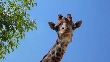 jirafa mirando a puerta cerrada