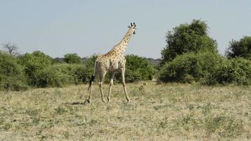 jirafa en africa