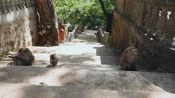 Mother monkeys watching their babies playing on stone steps