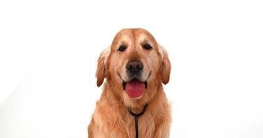 chien avec stéthoscope regardant la caméra