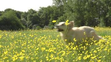 Secuencia de cámara lenta de dos perros perdigueros de oro en el campo
