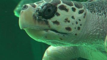tortuga marina, natación, en, acuario video