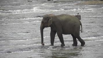 rallentatore: elefante che cammina attraverso il fiume