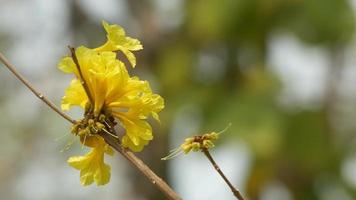fiori di tromba d'oro allo stadio di senescenza