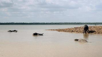 water buffaloes in the river during bath time