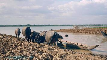 Water buffaloes walking down in the muddy river water