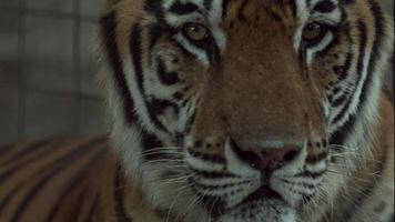 tigre de bengala, en, jaula, apretado, cara, tiro