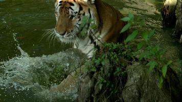 tigre del Bengala che gioca in acqua al rallentatore