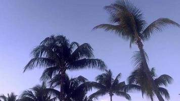 palmeras balanceándose en el viento video