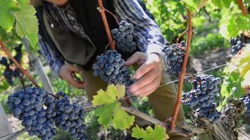 vigneron coupant des raisins dans son vignoble