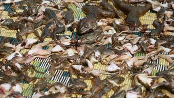 Wespen und Fliegen ernähren sich von toten Fröschen, die auf der Matte austrocknen