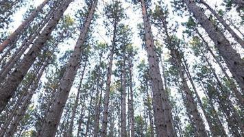 bandeja lisa hasta el dosel del bosque de pinos video