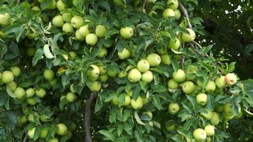 Pan across Golden Delicious Tree filled with apples ready to be picked video