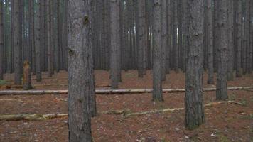 ronin estabilizado caminata suave a través de un bosque de pinos altos video