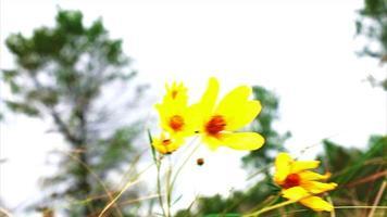 Herbst gelbe Blumen wehen im Wind - Sumpf Sonnenblumen