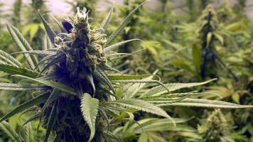 vicino gemma di marijuana sulla cima di piante da interni