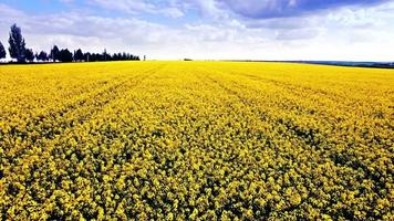 Luftaufnahme des Rapsfeldes, der gelben Blumen und des blauen Himmels.