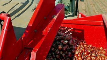 cosechar cebollas en un campo