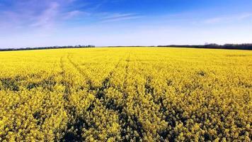 vista aerea del campo di colza, fiori gialli e cielo blu.