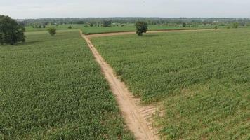campo de fazenda de milho verde, vista aérea. uhd 4k, 3840x2160. video