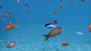 pez limpiador