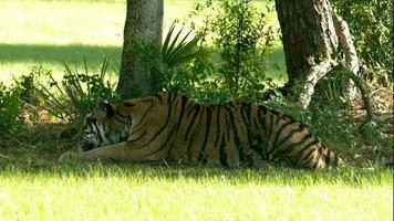 tigre de bengala, acostado, en la sombra, 2 video