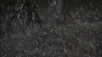 fortes chutes de neige sous les branches de pin