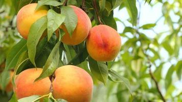 pêssegos amarelo-laranja em galho com folhas verdes