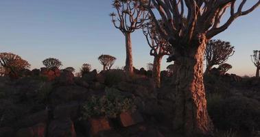 4k beweglicher Schuss von Köcherbäumen / kokerboom bei Sonnenuntergang