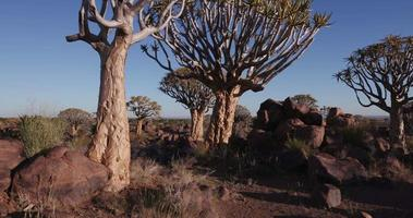 4K moving shot of quiver tree/kokerboom forest video