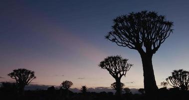 4k toma panorámica de árboles carcaj / kokerboom en silueta contra el cielo del amanecer