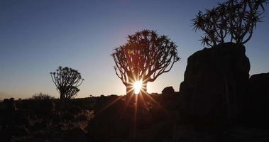 4k beweglicher Schuss des Sonnenuntergangs durch die Köcherbäume / kokerboom