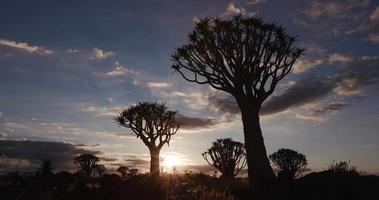 4K panning shot of quiver trees/kokerboom in silhouette against the dawn sky