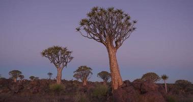 4K panoramica colpo di alberi faretra / kokerboom in tarda serata